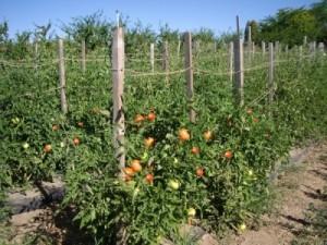 Как повысить иммунитет томатов?