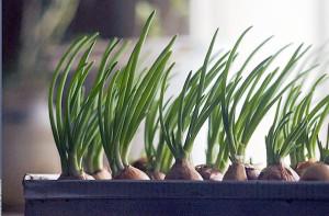 метод посадки лука