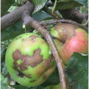 Какие препараты использовать для профилактики грибковых заболеваний в саду?
