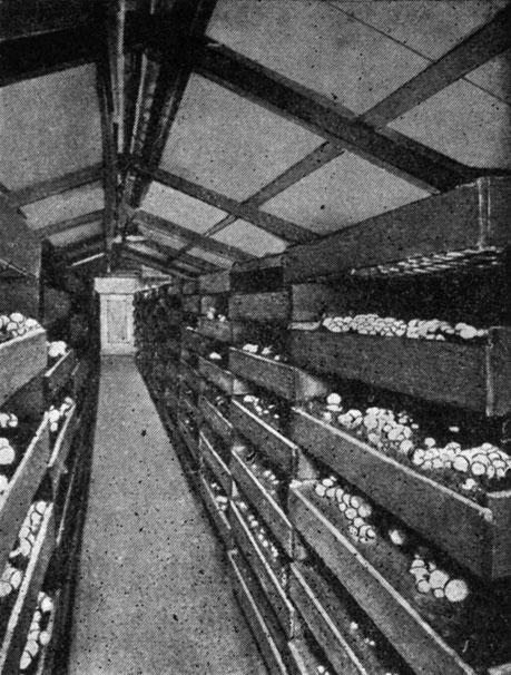Шампиньоны выращивают в специализированных сооружениях - печеричницях