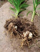 Выращивание лилий:посадка луковиц в почву