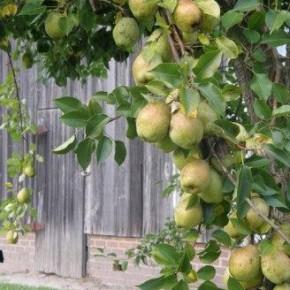 Как вырастить сильное дерево груши?