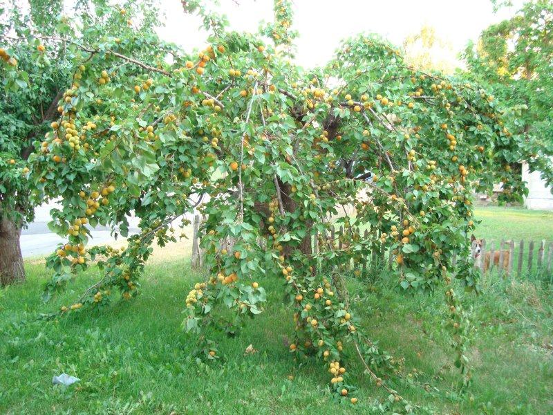 плод абрикоса