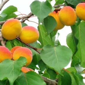 Абрикос на приусадебном участке:выращивание и уход