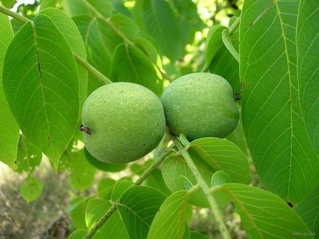 обильный урожай грецких орехов