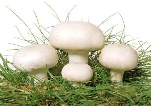 Шампиньйон - гетеротрофный сапрофитный гриб