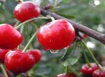 Разнообразие сортов и видов вишни