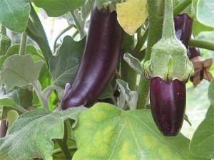 Выращивая баклажаны
