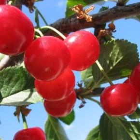 Мичуринские вишни-наиболее морозостойкие сорта