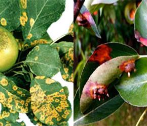 Чтобы  яблони и груши не болели желательно 2-3 раза в год проводить обработки