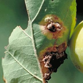 Когда нужно проводить обрезку яблонь и груш?