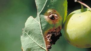 Болезни яблонь и груш