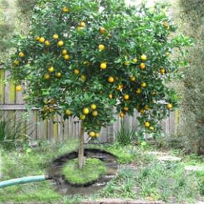 Как защитить плодовые деревья от вредителей с помощью ловчих поясов?