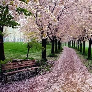 Когда цветёт сакура