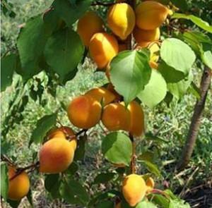 Размножение абрикос