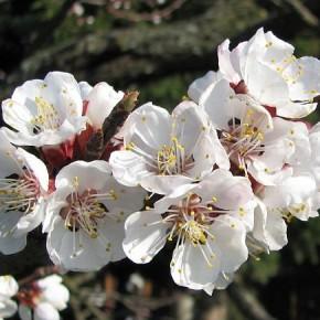 Декоративные абрикосы:характеристика плодов