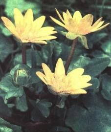 Когда цветёт пшинка весенняя
