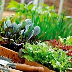 Как  вырастить в комнате свежую зелень к столу?