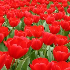 От старости спасают тюльпаны