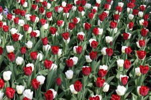 время посадки луковиц тюльпанов