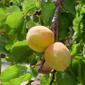 Для получения хорошего урожая достаточно одного дерева в саду:выращиваем абрикосы