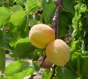 Абрикос - это плодовое дерево