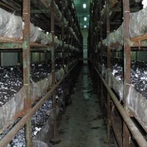 Традиционный способ компостирования:выращивание шампиньонов