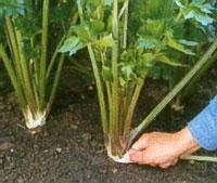 рост зелени сельдерея