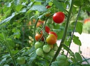 Индивидуальные участки под овощными культурами