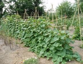 Выращивание огурцов:советы огородникам