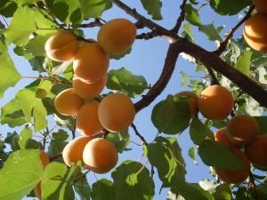 большие вкусные плоды
