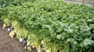 Выращивание-сельдерея