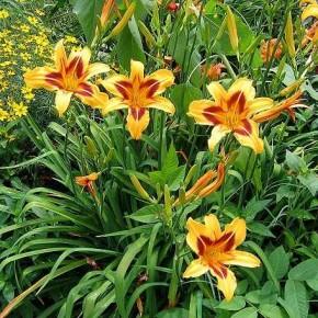 Как правильно пересаживать лилии?