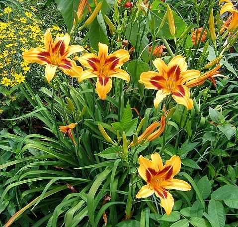 Как правильно и когда пересаживать лилии