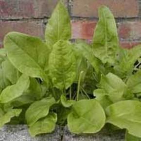 Зелень на огороде:вреден ли щавель?