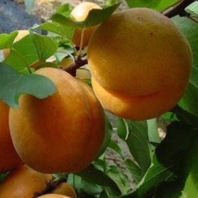 Три основные группы сортов абрикоса в зависимости от срока созревания плодов
