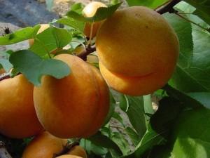 Три основные группы сортов абрикоса