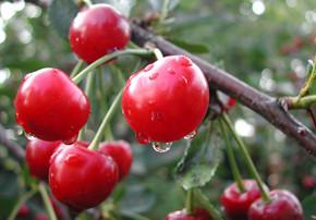 Войлочная вишня:преимущества и недостатки вида