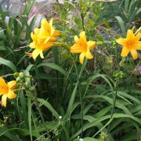 Как содать хорошие условия для произростания и цветения лилий?