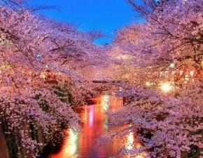 Вишня в цвету - шедевр природной красоты