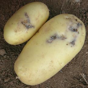 Когда нужно обрабатывать картофель против моли?
