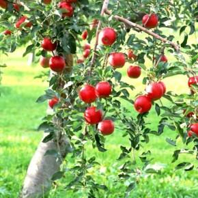 Обязательно ли белить стволы плодовых деревьев?