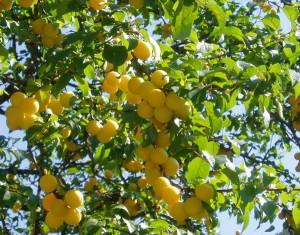 Выращивание абрикос