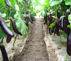 Как выращивать баклажаны в теплице?