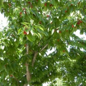 Как выбрать саженцы вишни для посадки?