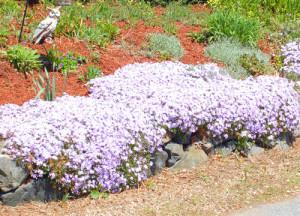Выращивание многолетних цветов:правила ухода