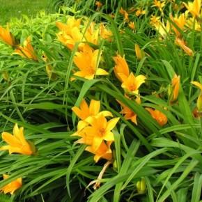 Какое удобрение нужно для лилий?