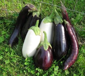 сортов с белой мякотью , генетической устойчивостью против излишнего накопления горечи