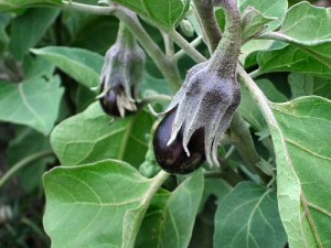 выращивания баклажан