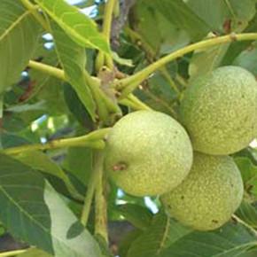 Выращивание грецкого ореха:как защитить от мороза